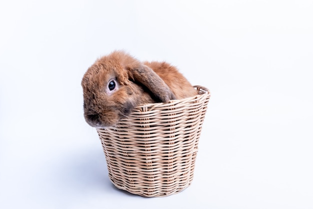 Baby rabbit have brown fur, long ears and sparking eyes in the wicker basket