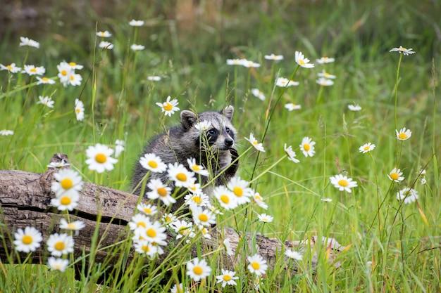 야생 데이지의 아름다움을 고려하는 아기 너구리