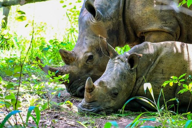 화창한 날에 식물 근처의 어머니 근처에 누워있는 아기 코뿔소