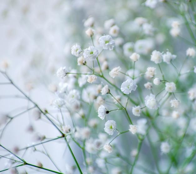 Baby's breath gypsophila flowers close-up