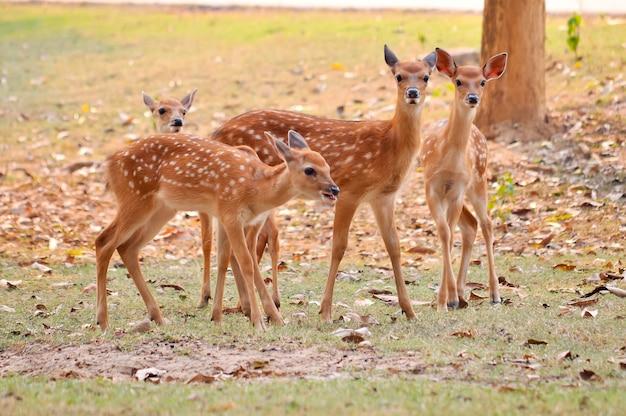 Baby sika deer