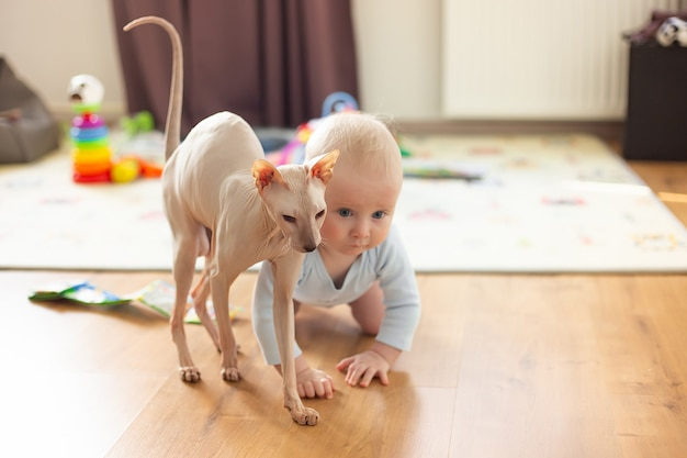 Baby six months crawls on the floor and next to him hypoallergenic cat sphings