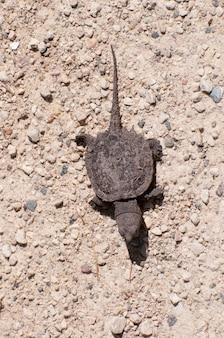 Детеныш щелкающей черепахи, chelydra serpentina, направляется к озеру.