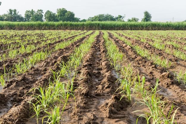 Baby sugar cane farmland