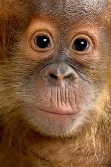 Малыш суматран орангутан, стоя