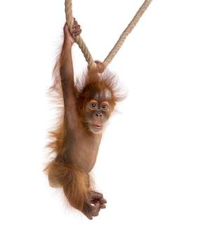 Baby sumatran orangutan, standing