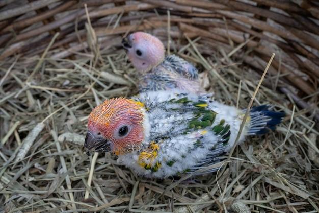 새의 둥지에 아기 일요일 Conure 새 프리미엄 사진