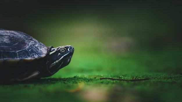 自然の中で苔の上の赤ちゃんカメ
