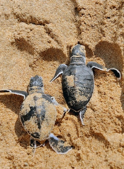 Baby turtles moving towards the ocean