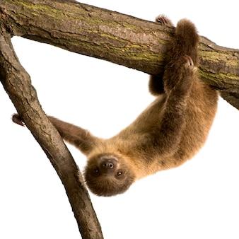 Ребенок двуногий ленивец, choloepus didactylus на белом изолированные