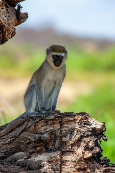 Детеныш обезьянки vervet на ветке в национальном заповеднике африки, кения. животное в среде обитания. сцена дикой природы от природы