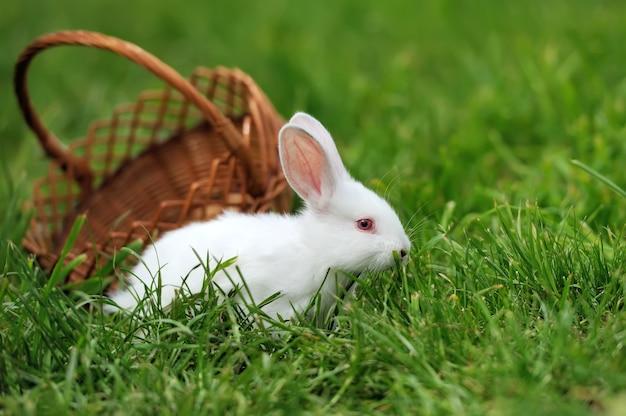 春の緑の草の赤ちゃん白いウサギ