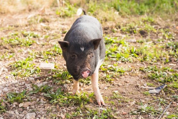 Ребенок дикой свиньи. дикий черный кабан или свинья гуляют по лугу.