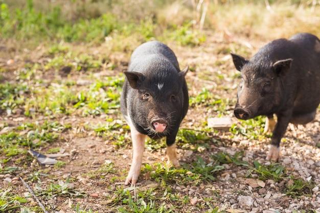 Детские дикие свиньи. дикий черный кабан или свинья гуляют по лугу.