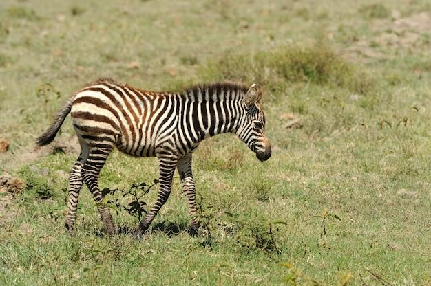 国立公園の赤ちゃんシマウマ。アフリカ、ケニア