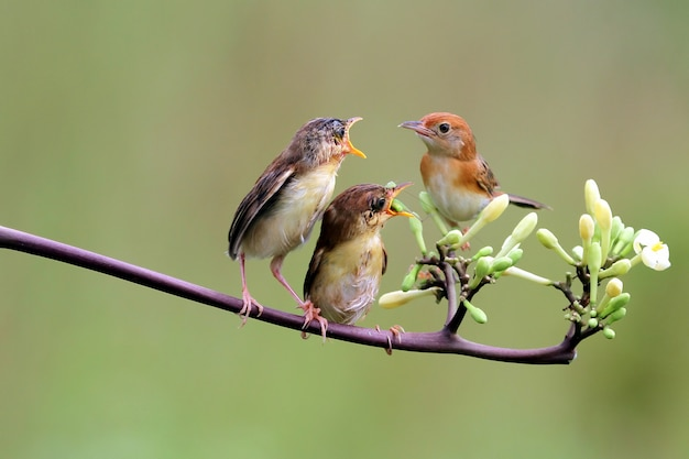 Baby zitting cisticola bird waiting for food from its mother