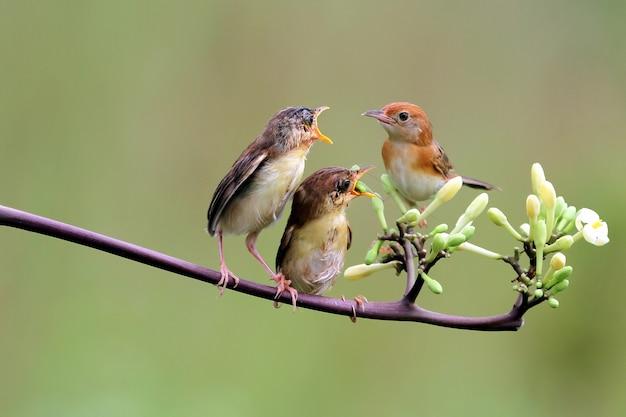 Малыш zitting cisticola ждет еды от матери