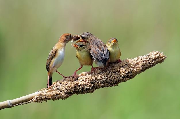 아기 zitting cisticola 새의 어머니로부터 음식을 기다리는