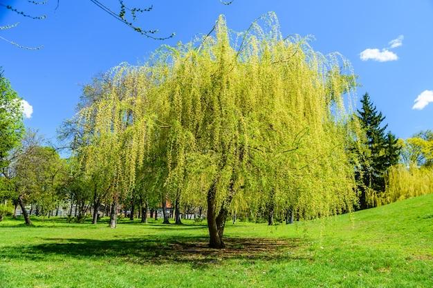 봄에 pubkic 공원에서 바빌론 버드 나무 (salix babylonica)