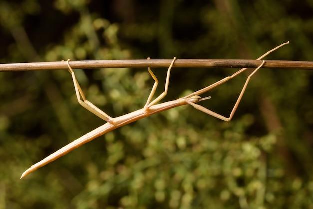 バラのナナフシ(bacillus rossius)