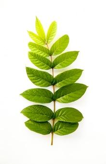 Back leaf on white