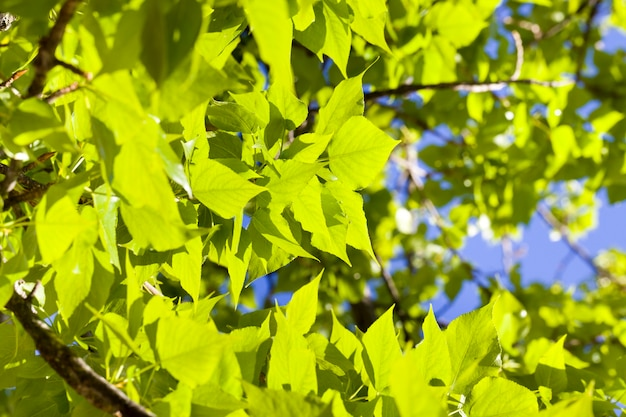 Back lit foliage of a deciduous tree