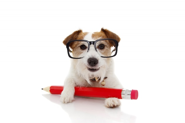 Back to school concept. funny dog with a red pencil ang glasses.