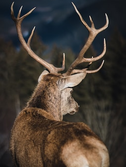 Back shot of a deer with long antlers