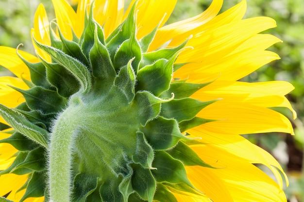 Back side of the fresh sunflower.
