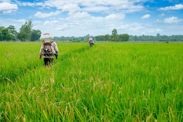 Back of thai farmer to herbicides chemical fertilizers equipment on the fields green rice