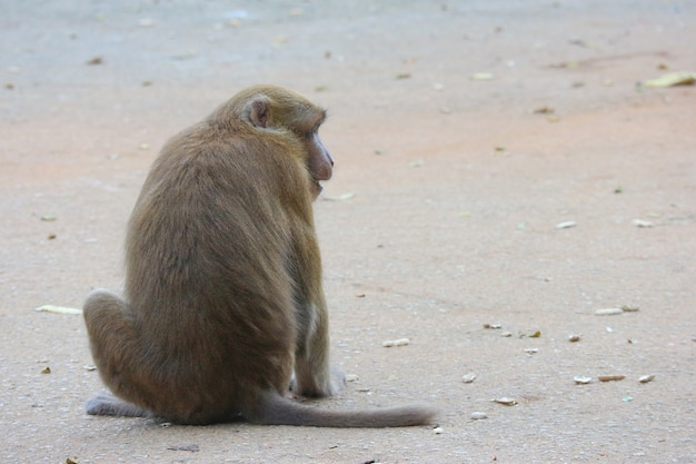 Back of thai wild red face monkey sitting on the ground and looking for food.