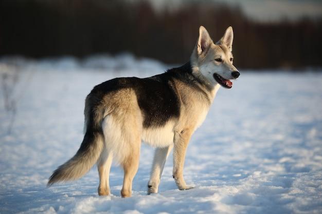 Вид сзади на милую собаку смешанных пород на прогулке по снегу в зимнем парке