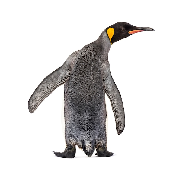 Back view of a king penguin isolated on white