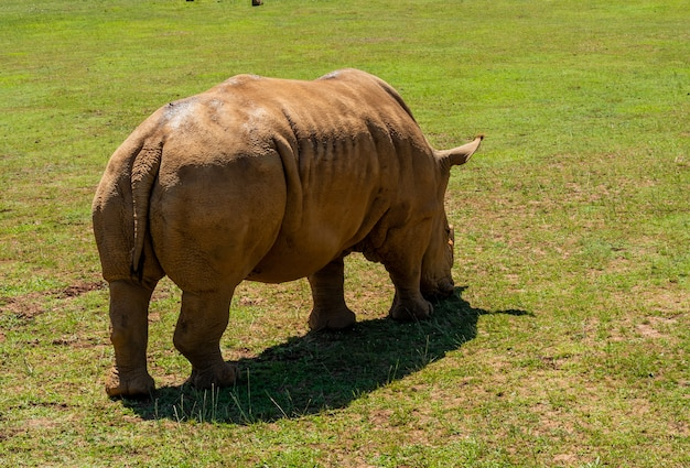 Back view of a large brown rhino feeding on grass in a field on a sunny day