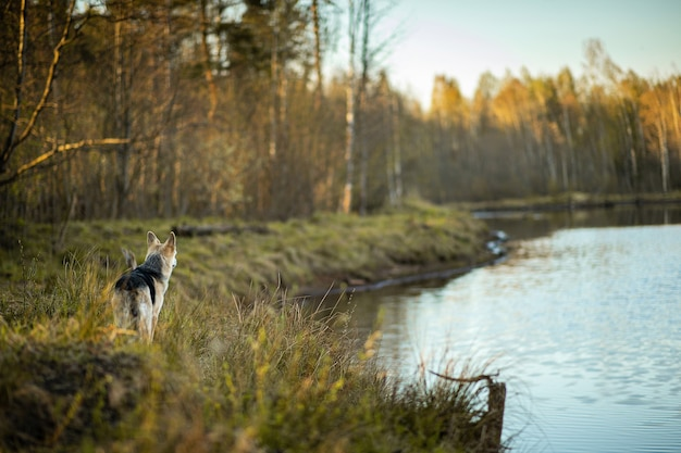 Вид сзади любопытной овчарки, стоящей на лугу в солнечном лесу и глядя в сторону