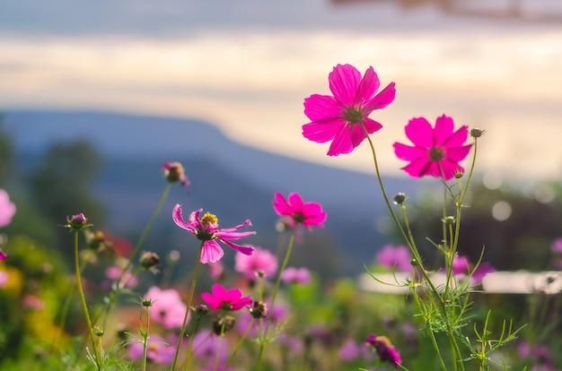 따뜻한 봄의 화려한 배경과 산의 전망 배경에 있는 분홍색 코스모스의 뒷모습.