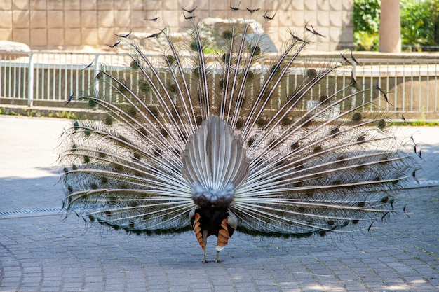 Back view of peacock with feathers in zoo