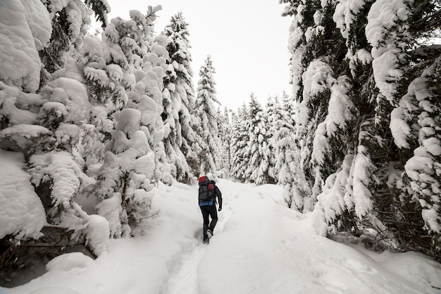 Back view of tourist hiker with backpack walking in white clean deep snow on bright frosty winter day in mountain forest with tall dark green spruce.