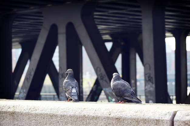 Back view of two gray pigeons perched on the wall
