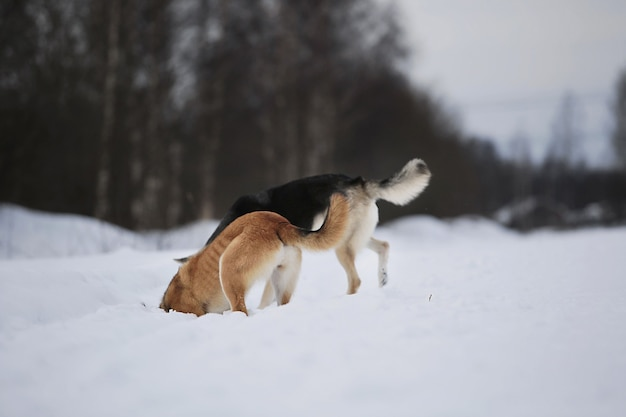 Back view at two mongrel dogs digging and sniffing snow on winter meadow