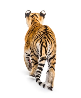 Back view of a two months old tiger cub walking against white