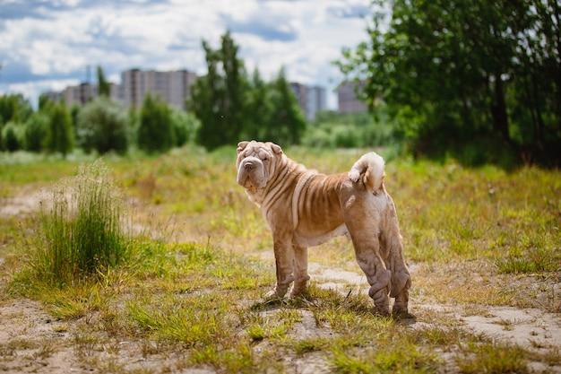 公園を散歩しているシャーペイ犬の背面図。緑の草と青い曇り空