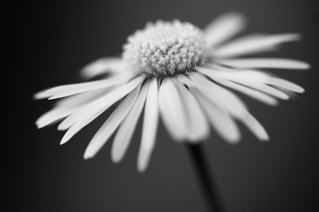 Back and white daisy