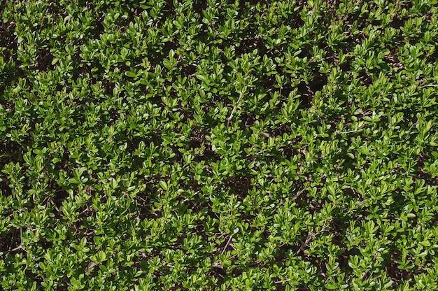 Фон из зеленых листьев естественной стены. крупный план, макрос.