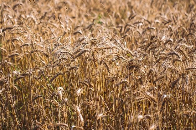 夕焼けの曇ったオレンジ色の空の背景に黄色い麦畑の成熟した耳の背景。田舎の牧草地の地平線に沈む太陽光線のコピースペース自然写真をクローズアップ豊作のアイデア