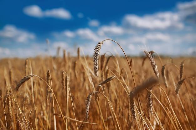 Фон зрея ушей желтого пшеничного поля на предпосылке облачного оранжевого неба захода солнца. скопируйте пространство лучей заходящего солнца на горизонте в сельской местности луг крупным планом фото природы идея богатого урожая