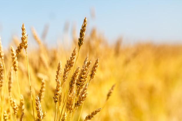 Фон зрея ушей желтого пшеничного поля на предпосылке облачного оранжевого неба захода солнца.