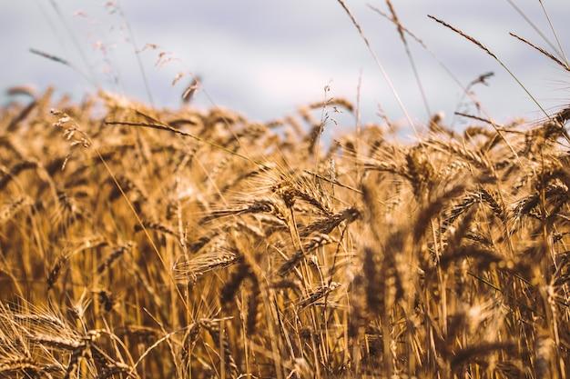 夕焼けの曇ったオレンジ色の空の背景に黄色い麦畑の成熟した耳の背景。
