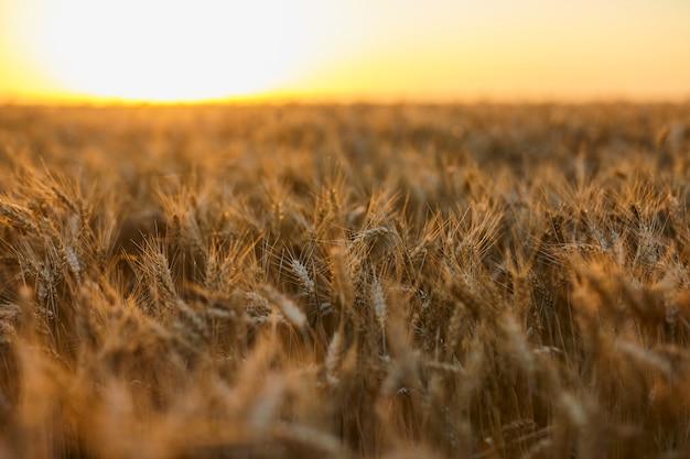 Фон созревающих колосьев желтого поля пшеницы на закате