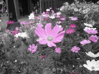 黒と白のbackgrouのピンクの花